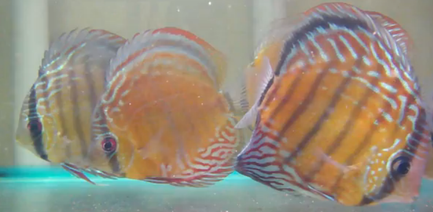 begginer discus tank - The Cichlid Room Companion